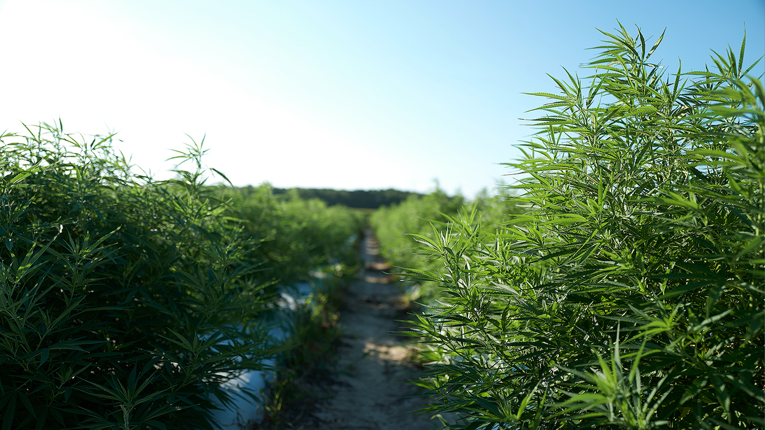 A picture of industrial hemp growing in a field