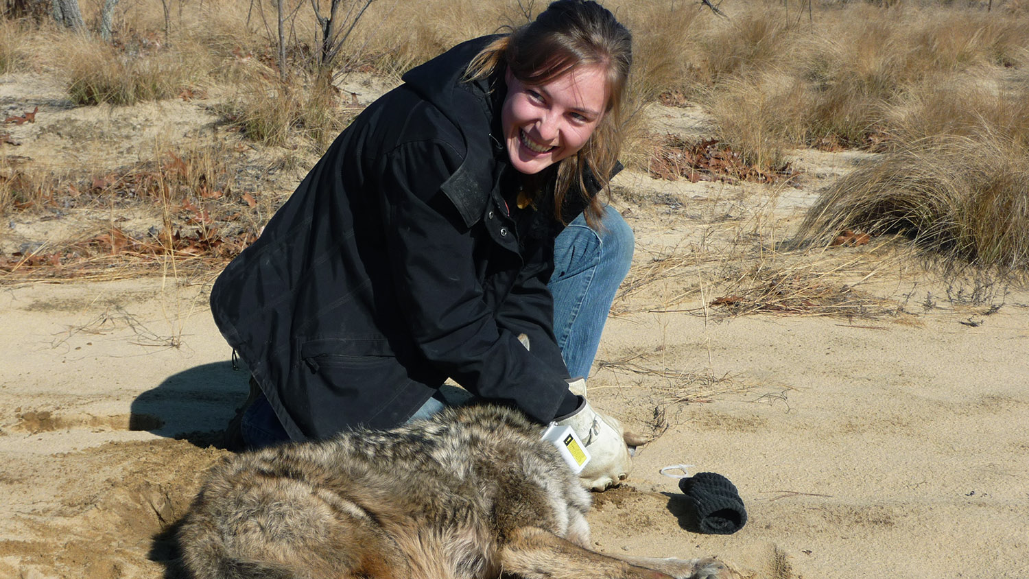 Student with a coyote in the field - Fisheries, Wildlife, and Conservation Biology Graduate Programs - Forestry and Environmental Resources Spotlight: William Casola - Forestry and Environmental Resources NCState University
