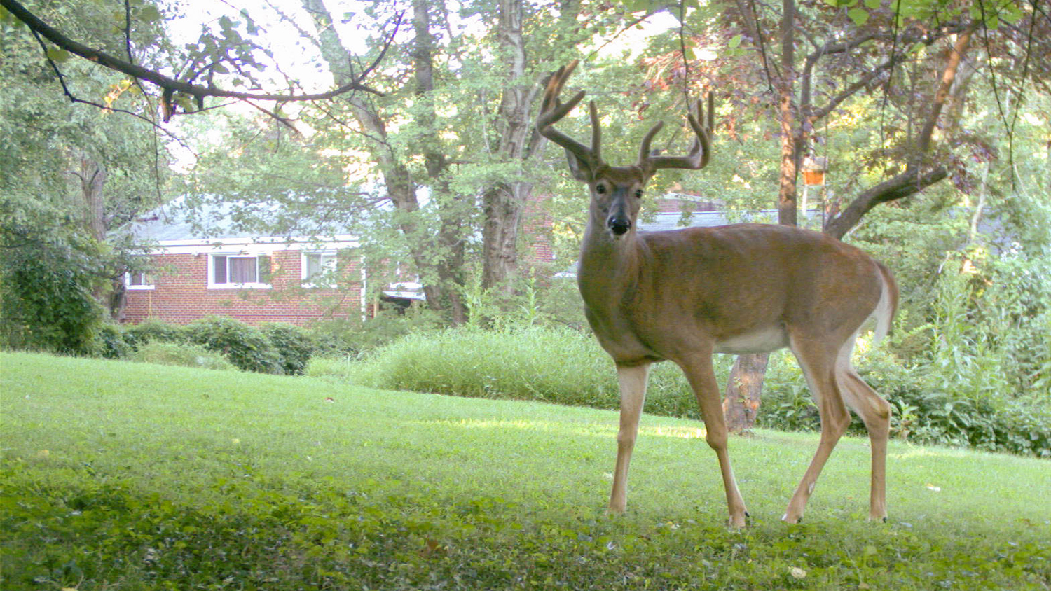 Deer Outside Home - Wild Suburbia: More Mammals Than Expected Live Near People - Forestry and Environmental Resources NC State University