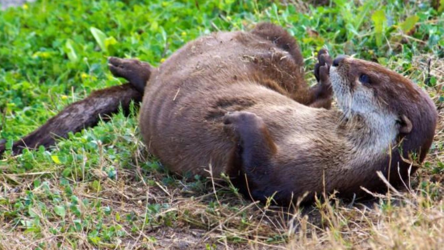 North American river otter - Study Finds Diseases in NC Otter Population Associated With Pets - Forestry and Environmental Resources NC State University