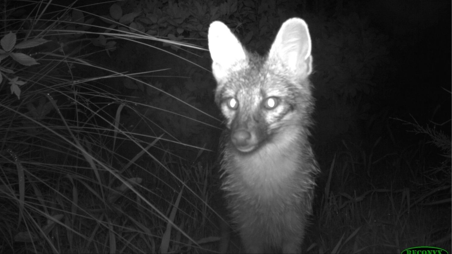 Wild fox - Wildlife Flock to Backyards for Food From People - Forestry and Environmental Resources NC State University