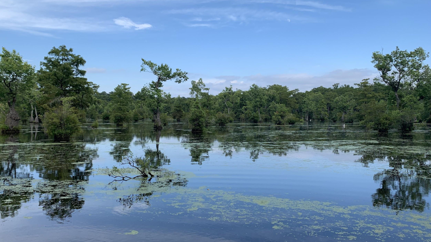 Swamp - Courtney Kirberger: Meet the Millpond - Forestry and Environmental Resources NCState University