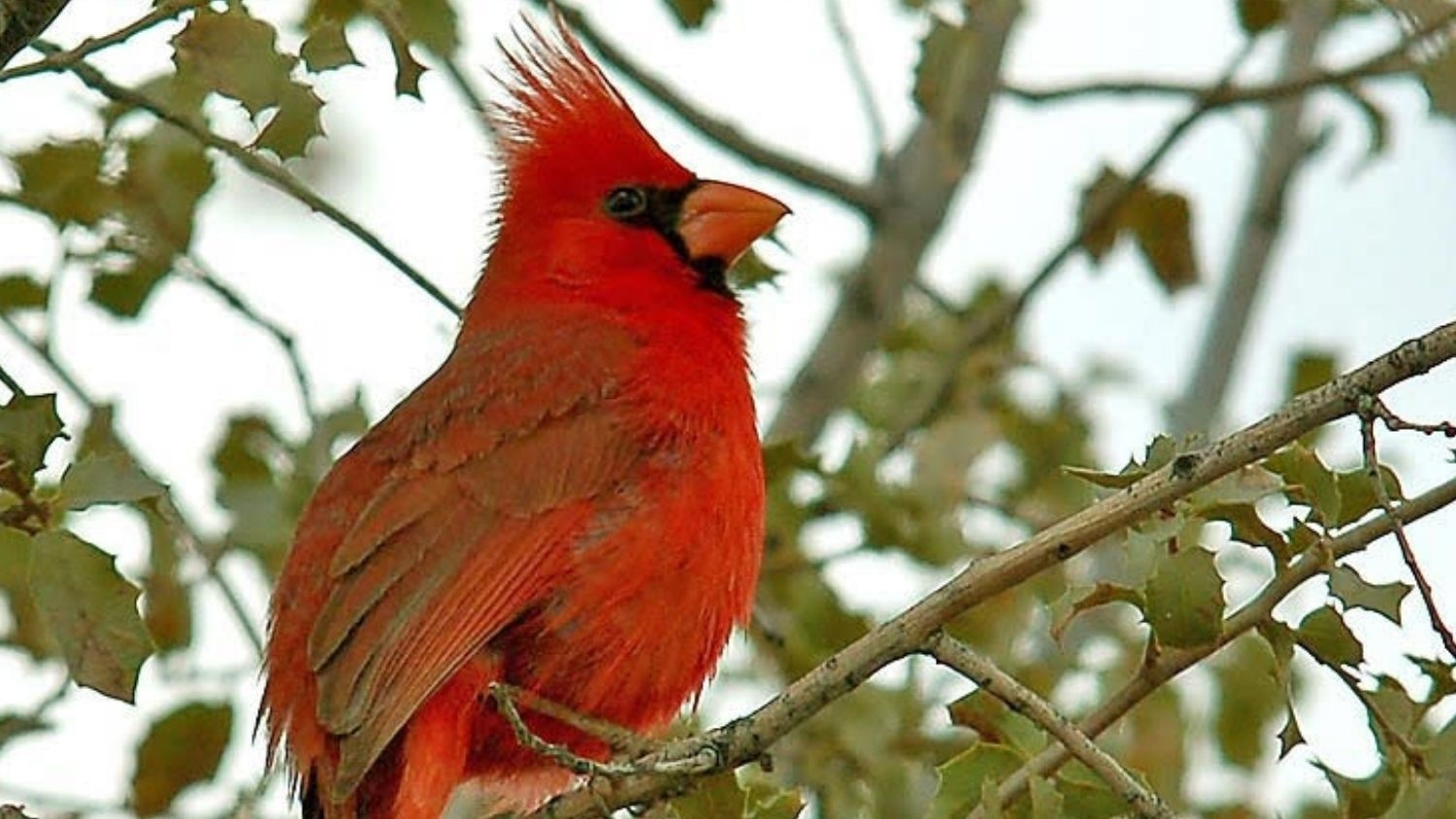 Cardinal - Noise and Light Pollution Impact Songbird Reproduction - Forestry and Environmental Resources NC State University