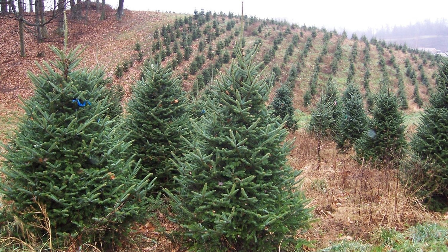 Christmas tree farm - Christmas Trees: Here's The Scoop on North Carolina's Crop - Forestry and Environmental Resources NC State University