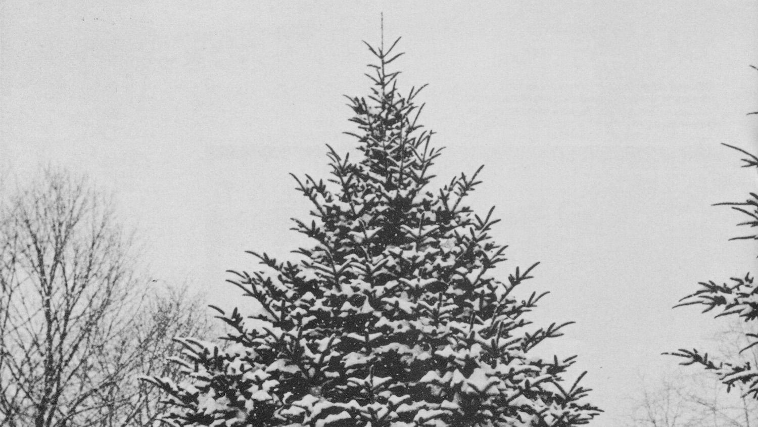 Black and White Image of a Tree - NC State's Christmas Tree Genetics Program: Keeping Our Christmas Merry and Bright - Forestry and Environmental Resources NC State University
