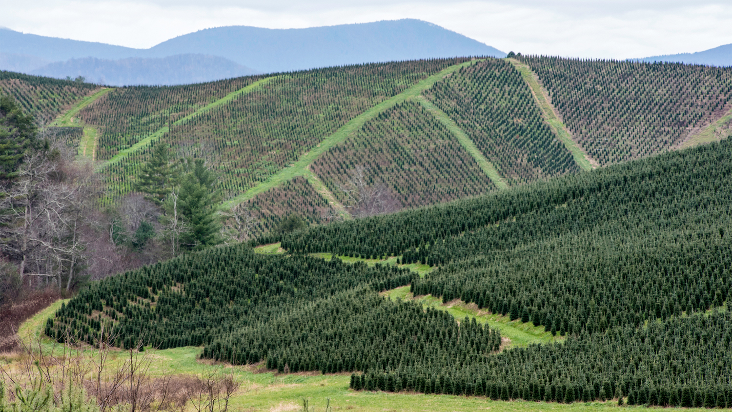 a large section of Christmas trees growing on a hillside outside Boone, North Carolina - North Carolina Christmas Tree Industry Expects a Record Year Despite Coronavirus Concerns - Forestry and Environmental Resources NC State University