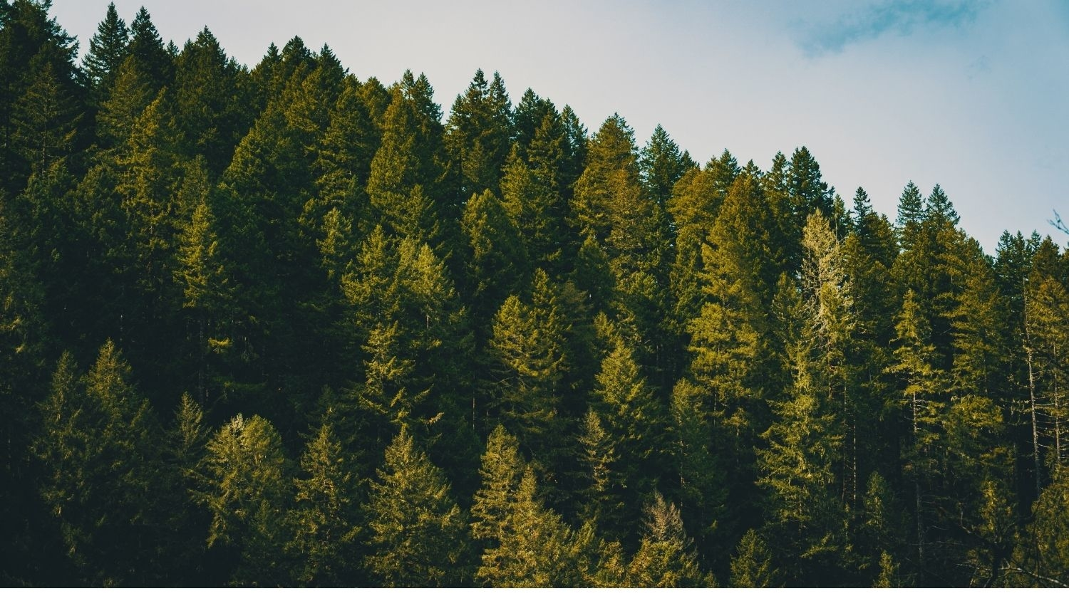 Mountain forest - Cost of Planting, Protecting Trees to Fight Climate Change Could Jump -Forestry and Environmental Resources NC State University