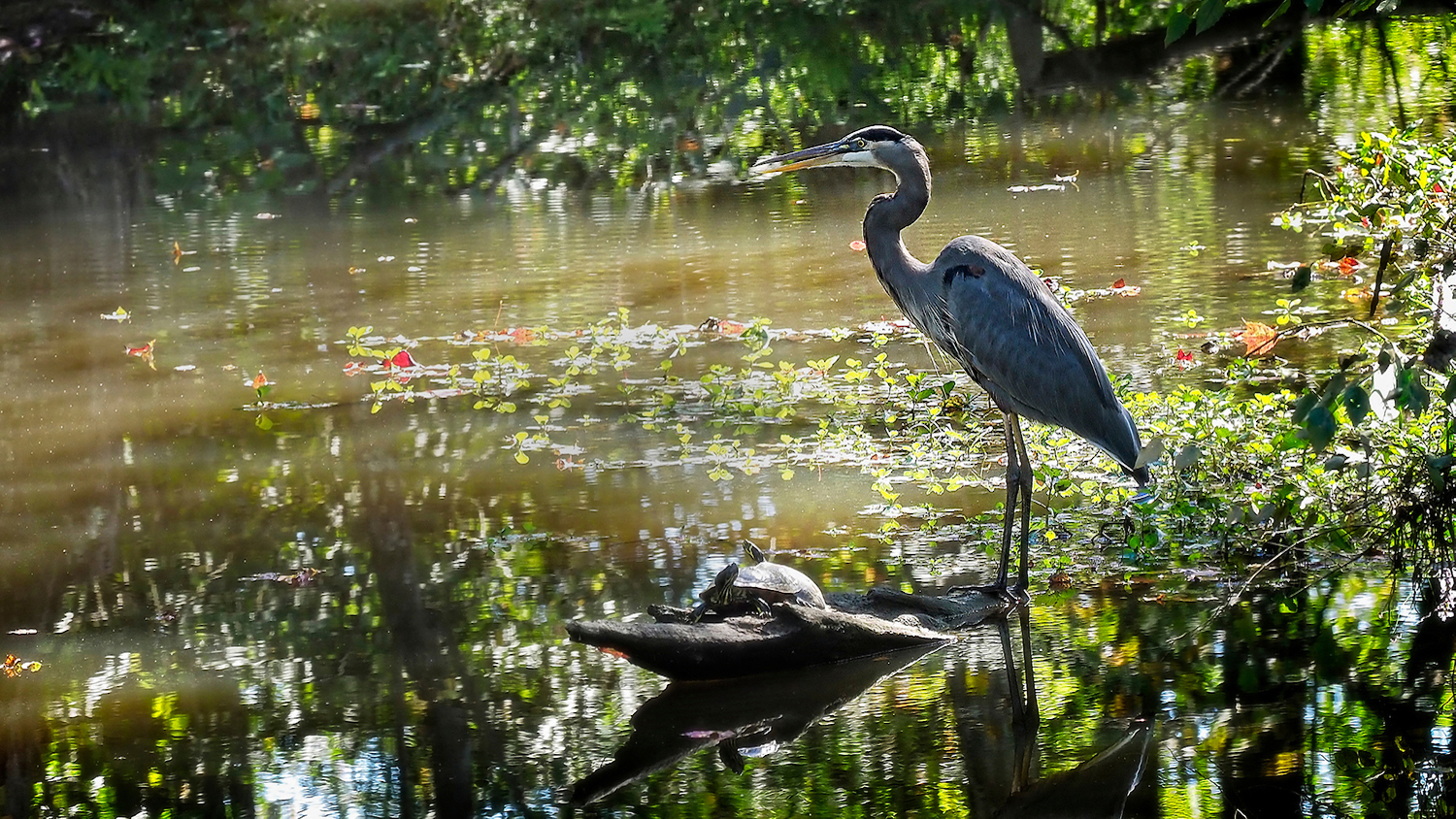 A great blue heron and turtles along a body of water - Ecology Wildlife Foundation Establishes Three Funds to Support Conservation Research - Forestry and Environmental Resources Department at NC State