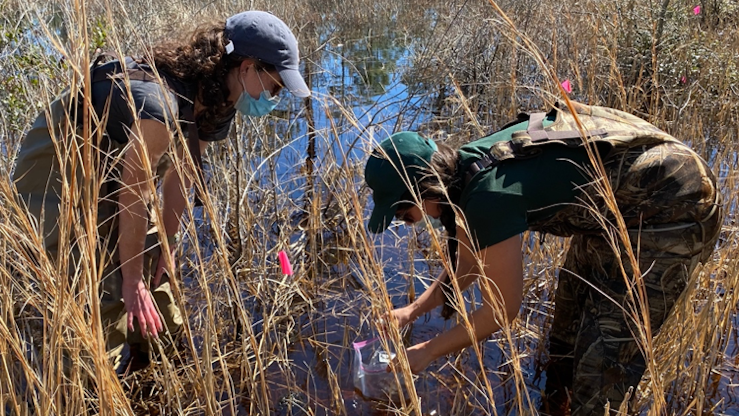 Obtaining Gopher Frog Egg Mass - Head Starting Gopher Frogs in the Croatan National Forest - Forestry and Environmental Resources Department at NCState