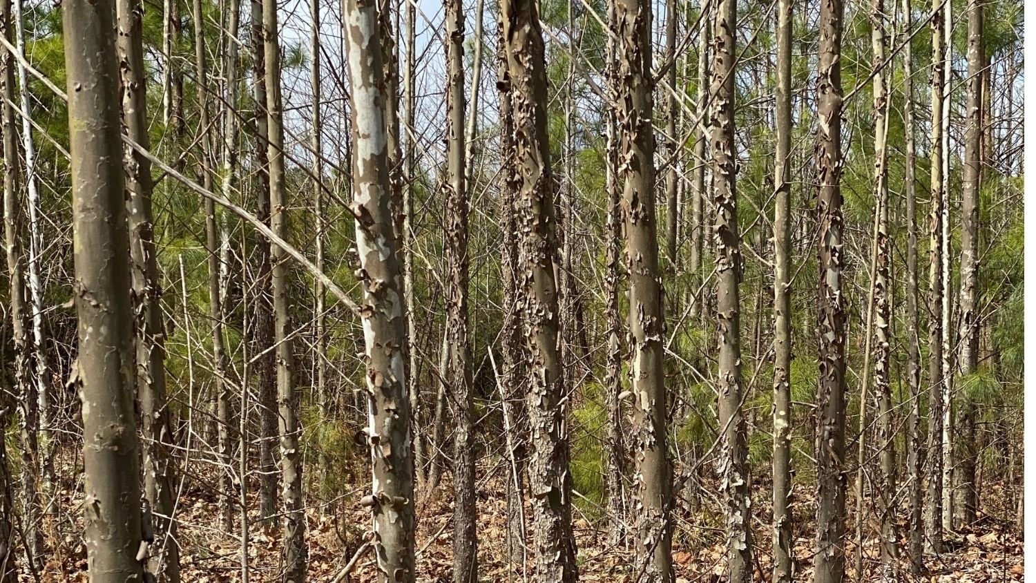 American sycamore grove - Could Sycamore Trees Be an Alternative Source? - Forestry and Environmental Resources Department at NC State