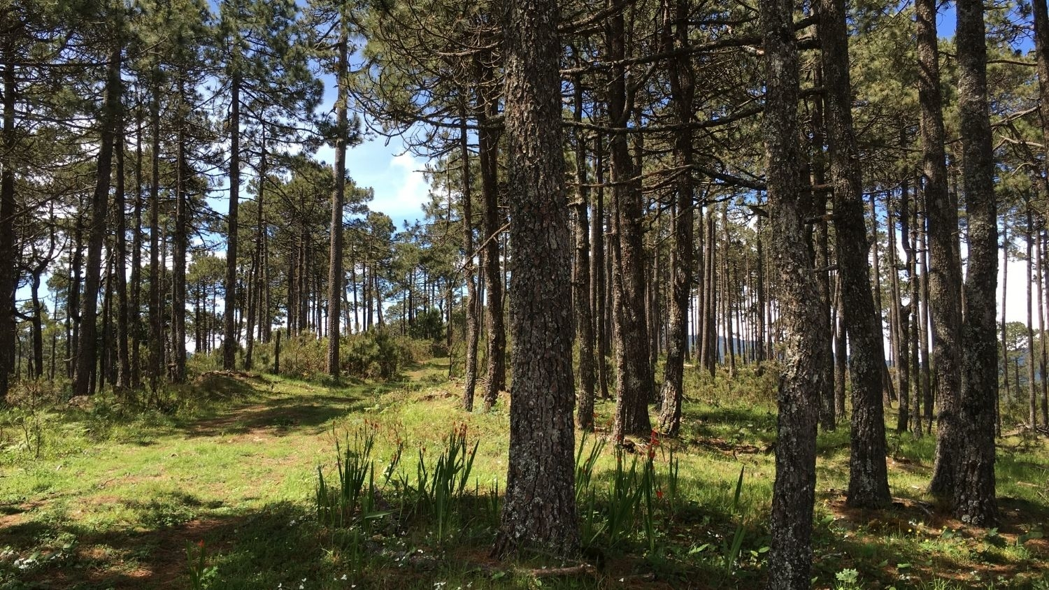 A forest in the mountains of Southwest Mexico - In Mexican Mountains, Some Tree Species Could be Vulnerable to Climate Change - Forestry and Environmental Resources Department at NC State