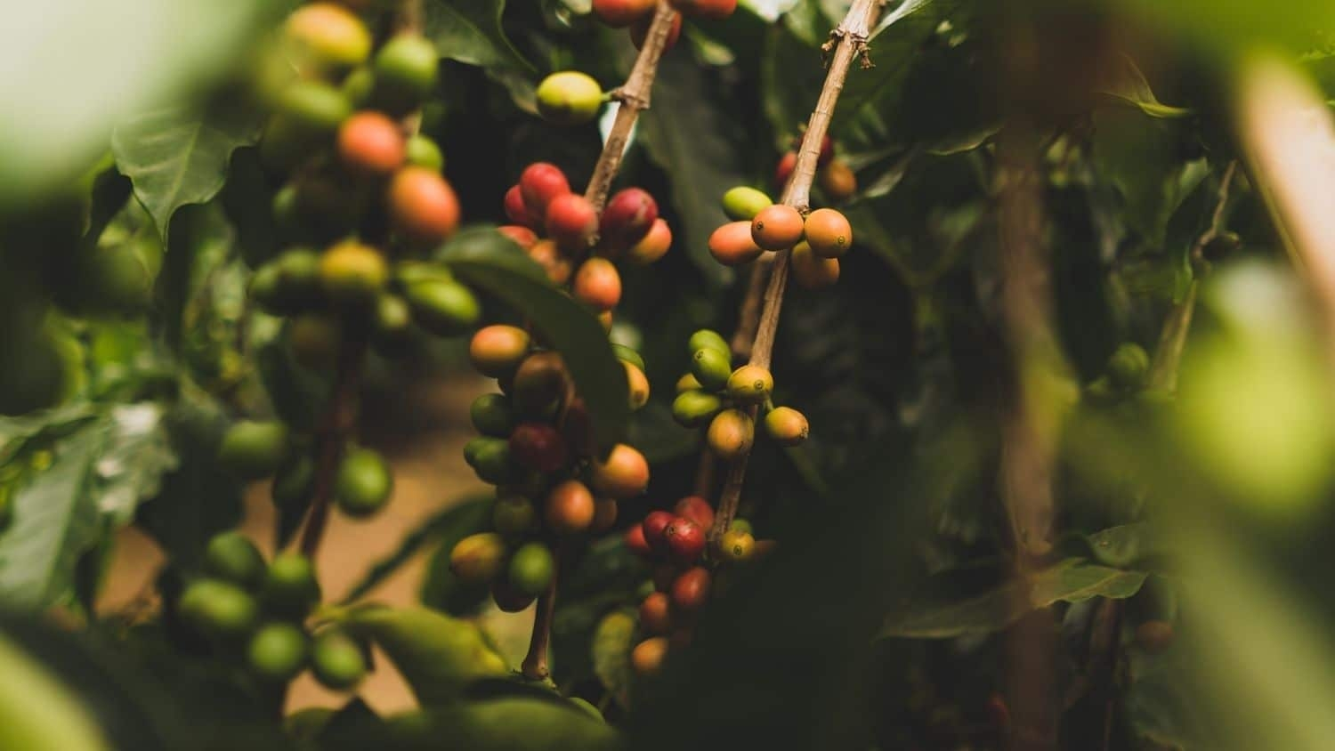 Coffee tree - Many Nonprofits, Companies Report Using Commercial Species in Tree Planting Projects - Forestry and Environmental Resources Department at NCState