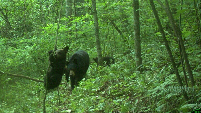 Black bears captured on camera in North Carolina.