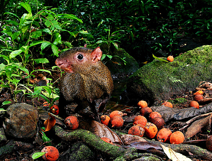 An agouti with the black palm tree's orange fruit, which contains large seeds.