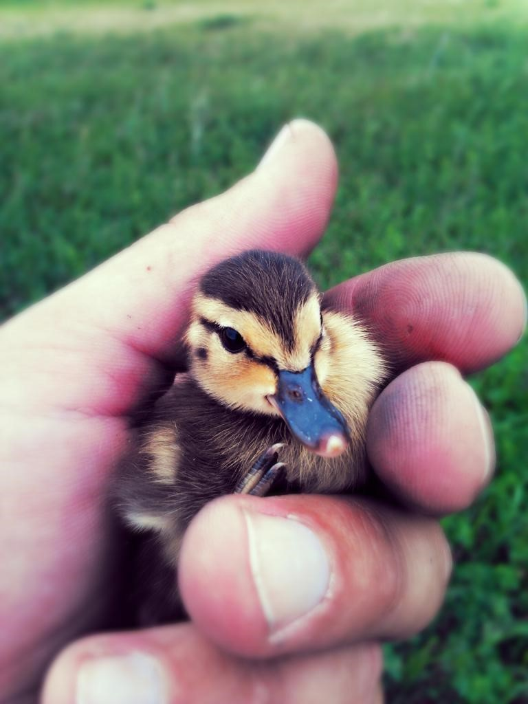 Trentham 3A day old Bluewinged Teal. This duckling is dry and ready to leave the nest. Photo credit: Garrett Trentham