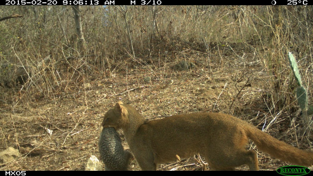 Mexican students captured this amazing picture of a jaguarundi carrying a ringed-tail squirrel.