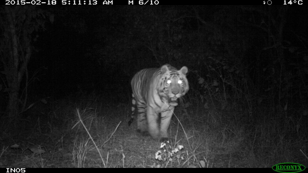 A tiger photographed by students cameras in India.