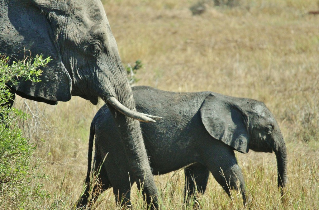 A female African Elephant and her calf beside our game drive vehicle in Kruger National Park.