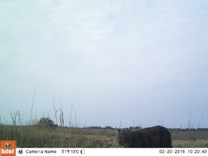 Bobcat captured on a trail camera at one of Yawkey's impoundments.
