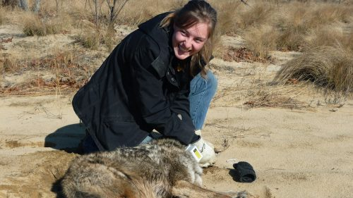 Student with a coyote in the field