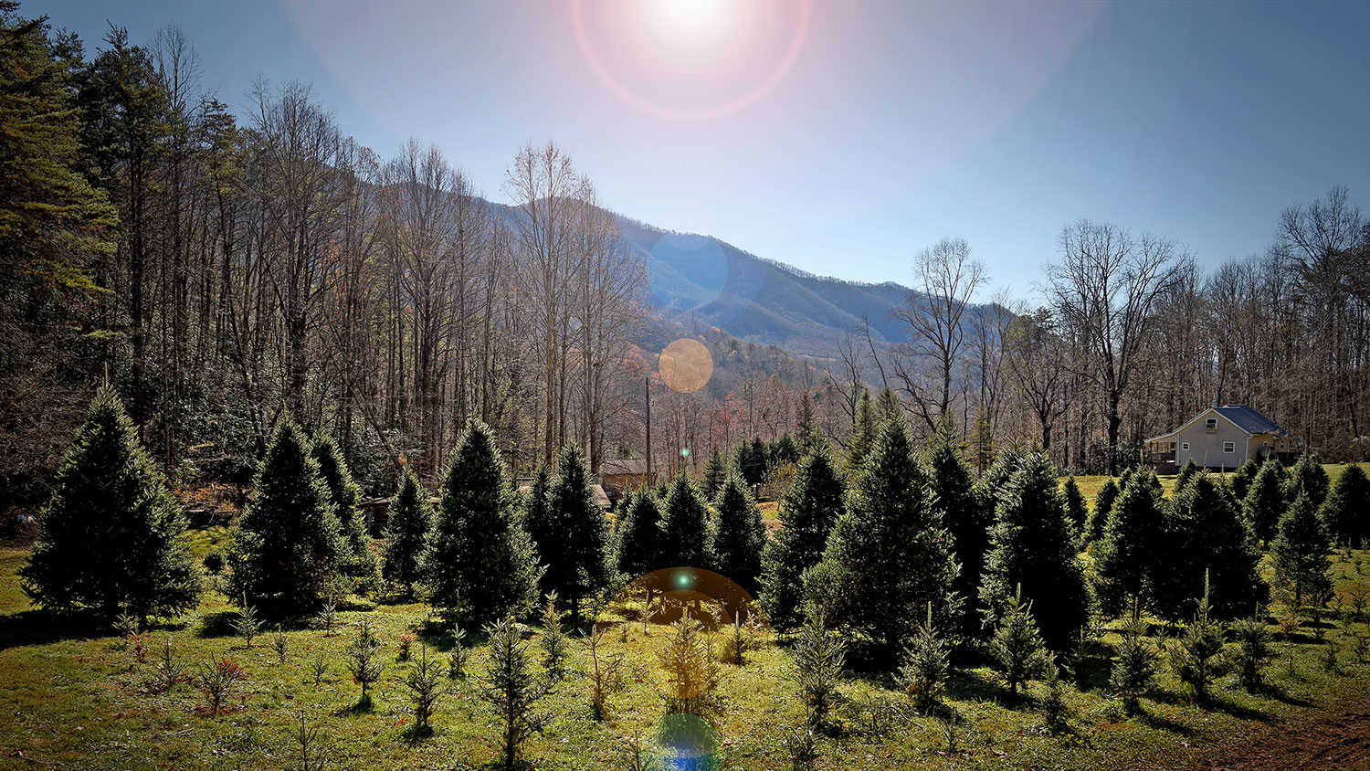 Christmas tree farm - NC State Helps Homegrown Holiday Hobby - Forestry and Environmental Resources NC State University