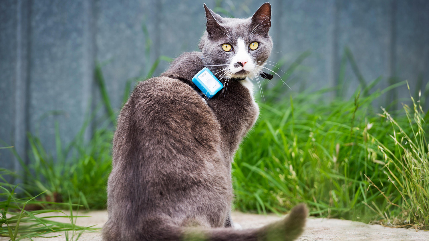 Cat with GPS tracking device on collar.