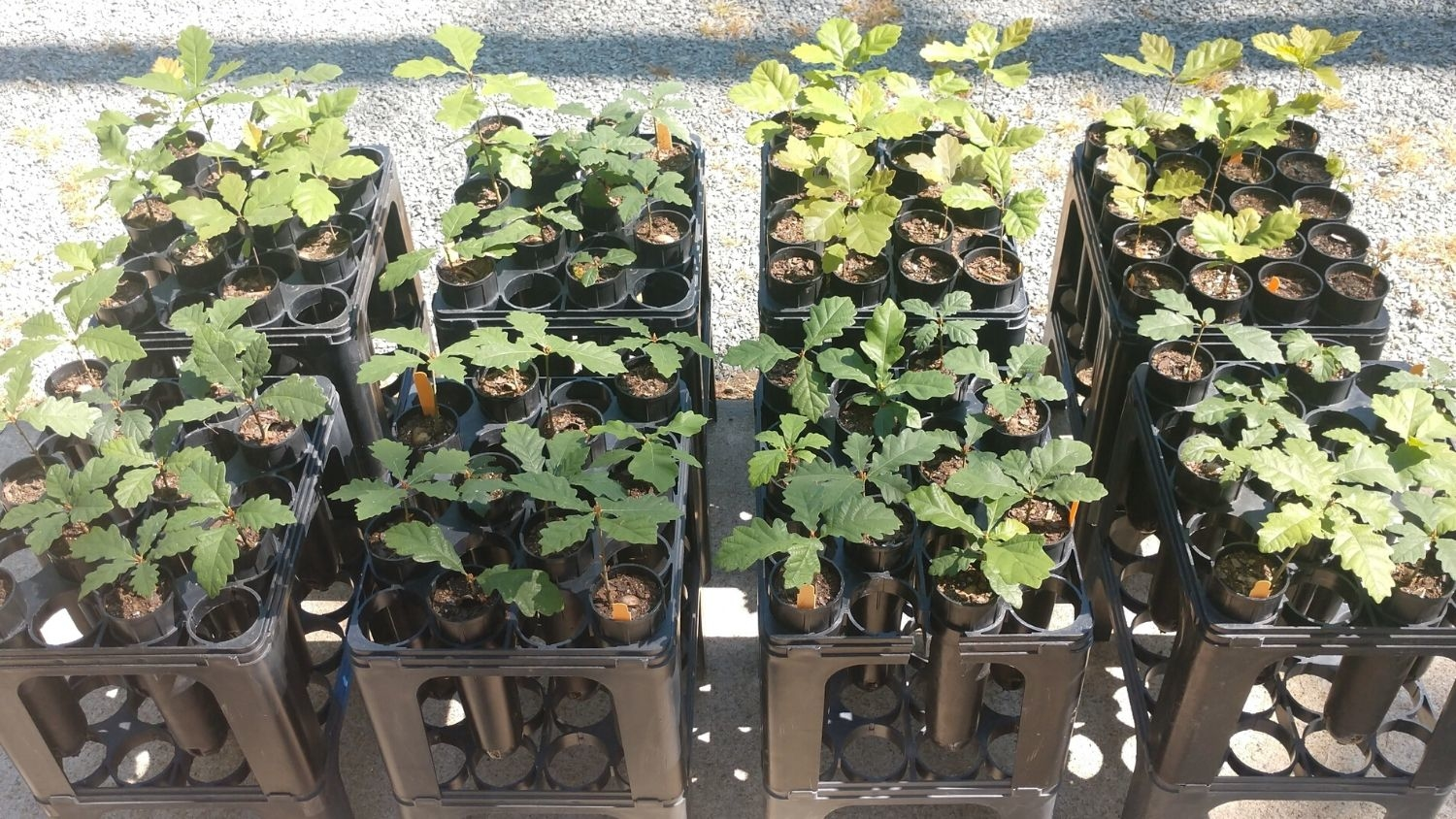 Young oak trees growing at NC State - NC State Tree Experts Grow Oaks to Honor Marines - Forestry and Environmental Resources NC State University
