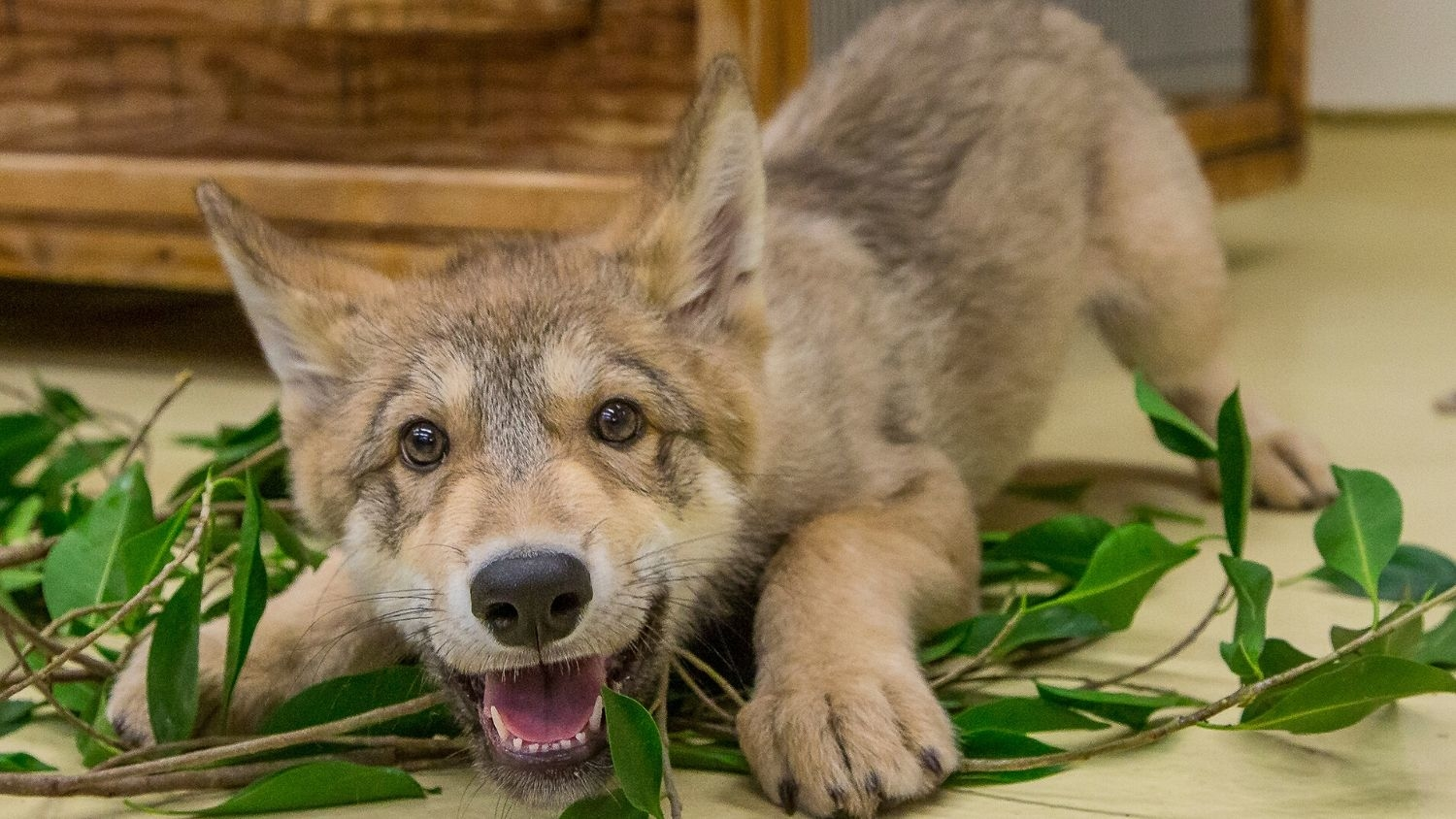 Shadow, a wolf at the San Diego Zoo, when he was a pup in 2014 - Positive YouTube Videos of Wolves Linked to Greater Tolerance - Forestry and Environmental Resources NC State University