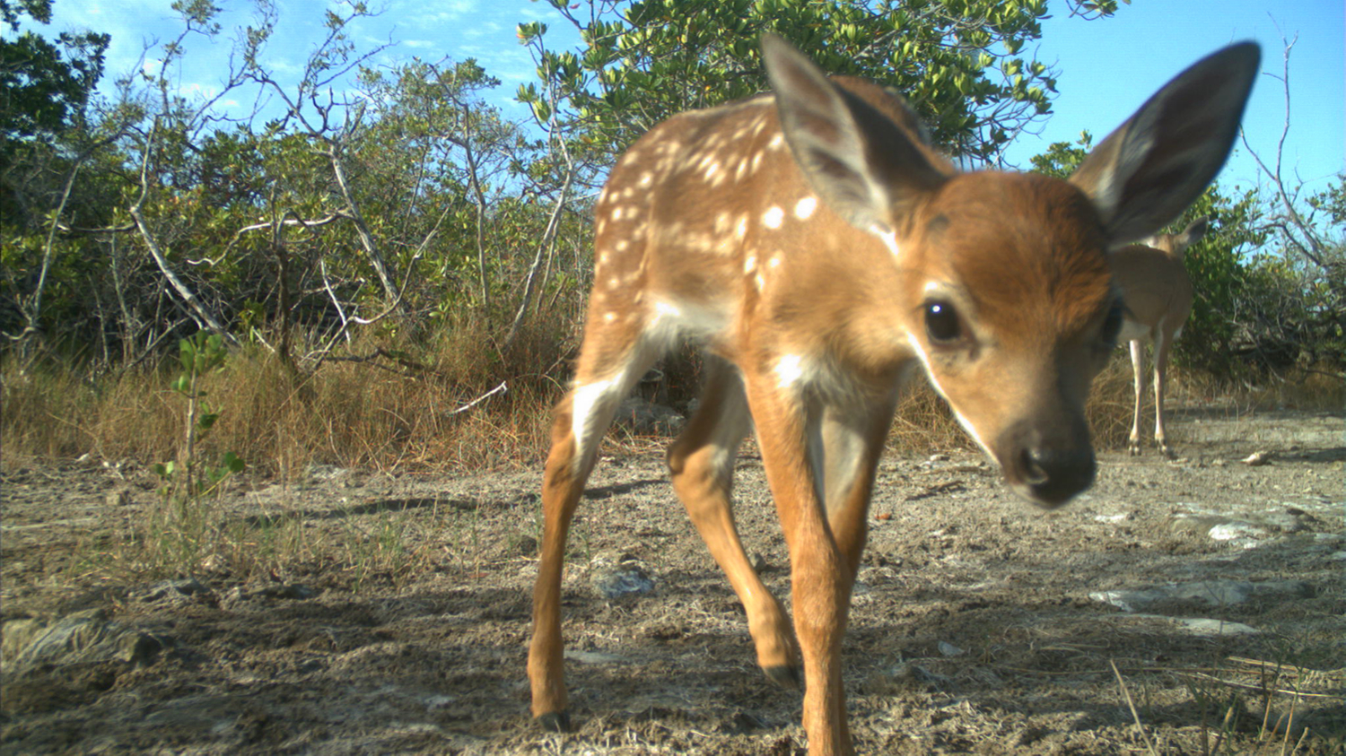 A Key deer photo approaches a camera trap in the Florida Keys.