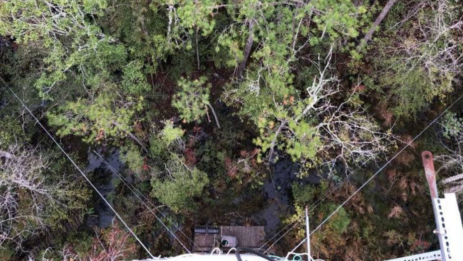 Wetland forest, seen from a research tower - Natural Forest in Coastal N.C. Becomes Carbon Source as 'Ghost Forest' Spreads - Forestry and Environmental Resources NC State University