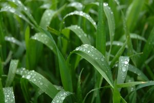Raindrops on crops