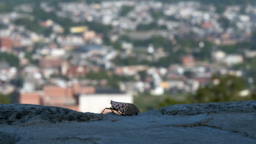 spotted lanternfly adult with town in background