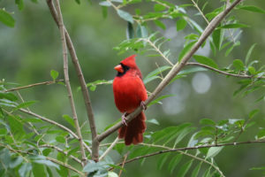 a male Northern Cardinal sits in a tree