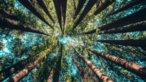 a view looking upward at the canopy of pine trees in a forest