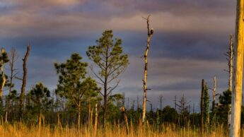 Ghost forest on N.C. coast.