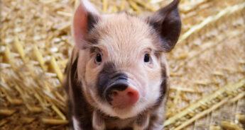 Cute piglet on straw