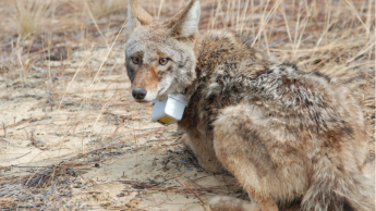 coyote with tracking collar