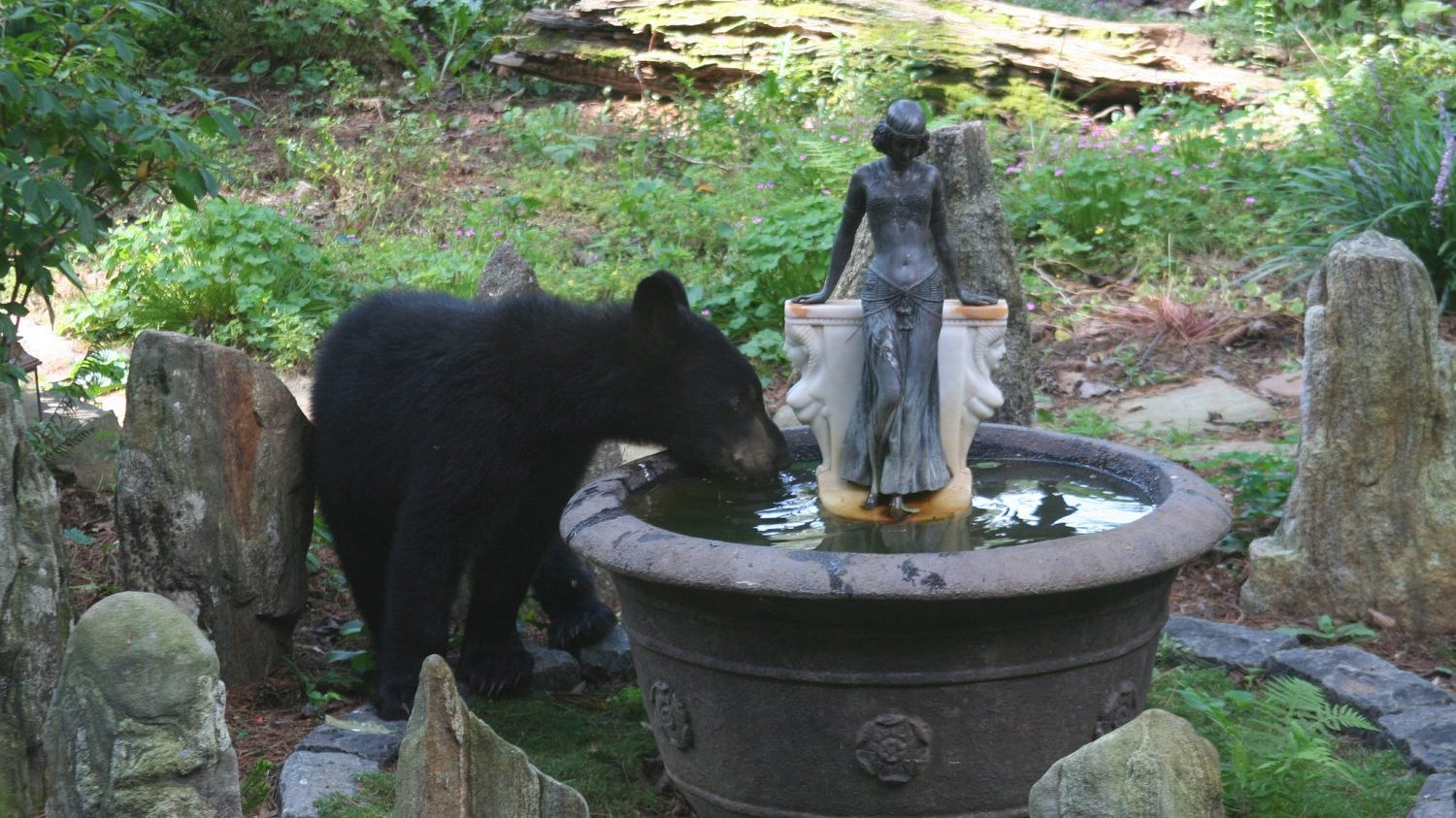 black bear drinking from fountain