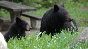 black bears in front of picnic table