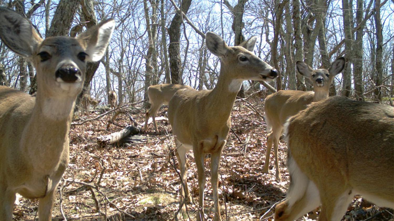 deer on camera trap