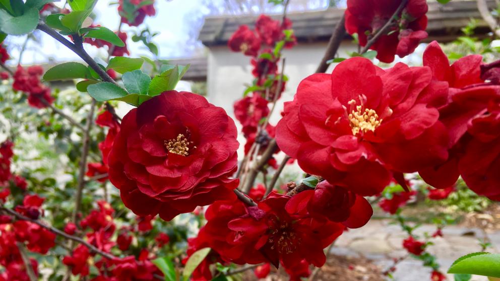 Spring flowers at JC Raulston Arboretum.