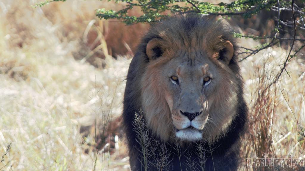 Namibian Lion
