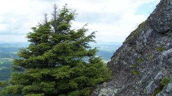 Carolina Hemlock on Mt Jefferson