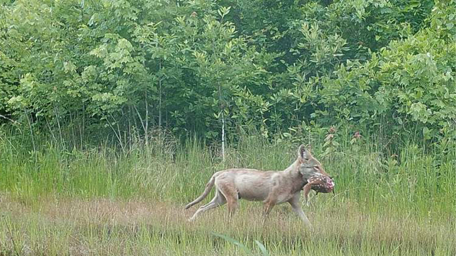 Coyote in a field - Coyotes vs. Deer: Who's Winning?
