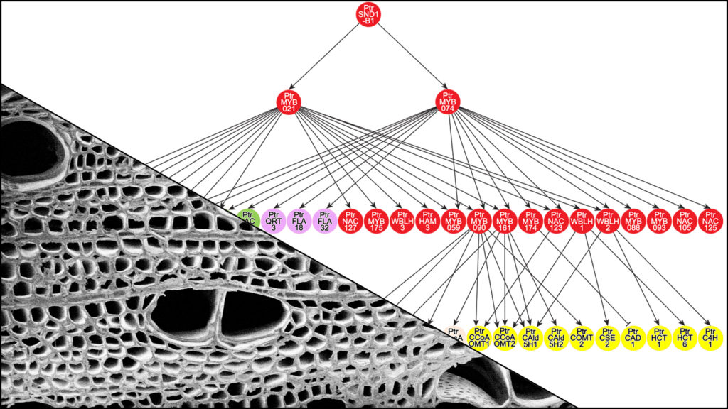 Transcription Factor Network Gets to Heart of Wood Formation