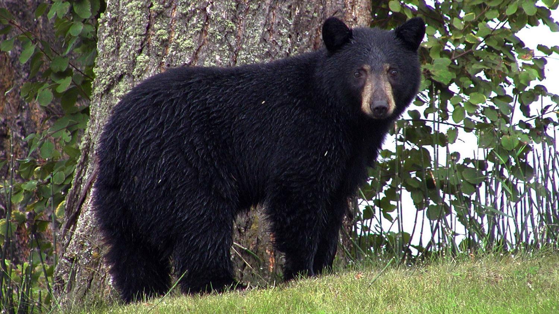 Black Bears in the Backyard