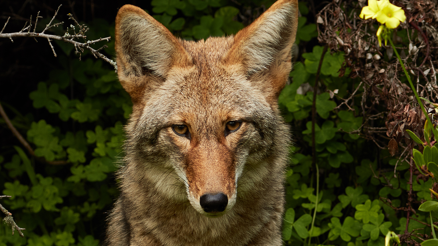 Coyote sitting in front of forest. Coyotes Are Poised To Enter South America For The First Time