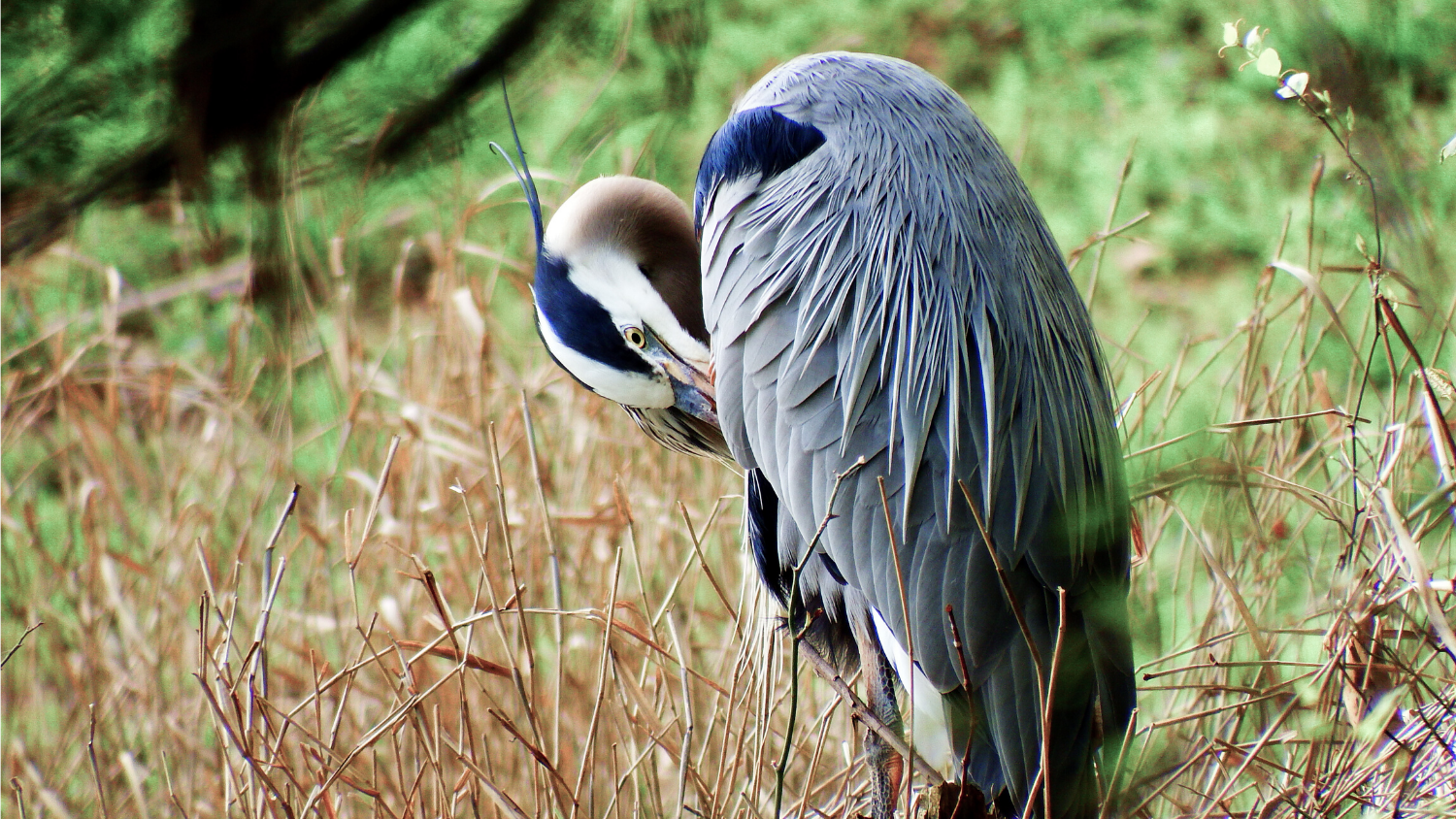Which NC bird are you?, College of Natural Resources, Great Blue Heron, courtesy Lauren McLaughlin
