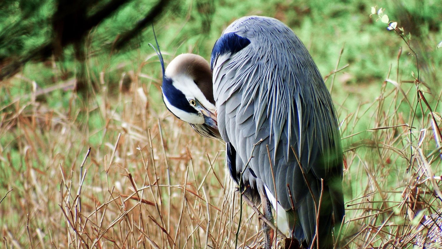 Which NC bird are you?, College of Natural Resources, Great Blue Heron, courtesy Lauren McLaughlin - 1