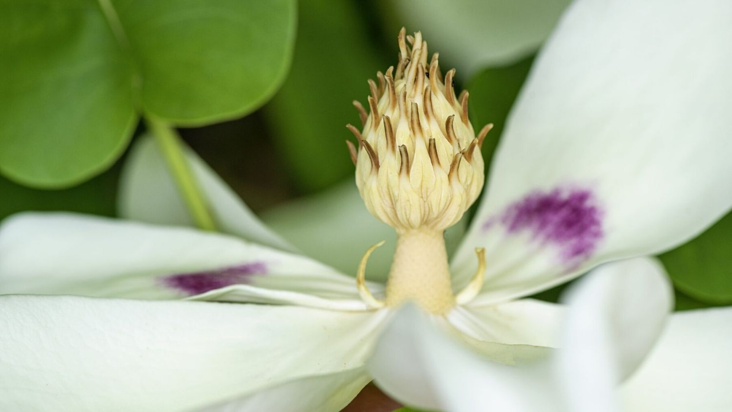 Which NC tree are you, College of Natural Resources, Bigleaf Mangolia flower, courtesy Jacky Parker